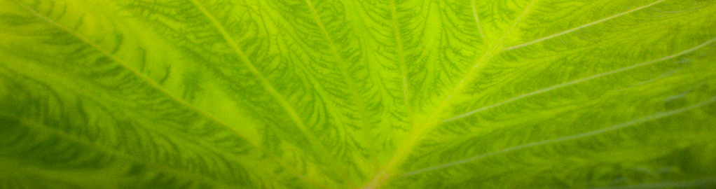 Taro Leaf Abstract